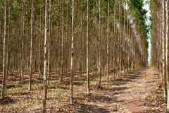 Eucalyptus forest in north-east of Thailand Royalty Free Stock Photos