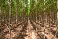 Eucalyptus forest in north-east of Thailand Royalty Free Stock Photo