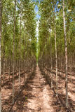 Eucalyptus forest in north-east of Thailand royalty free stock photography