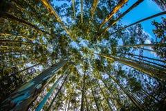 Eucalyptus forest in ooty. Eucalyptus tree against the sky Stock Image