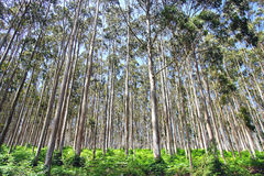 Eucalyptus forest. Royalty Free Stock Photography
