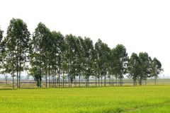 Eucalyptus forest Row in farmland rice Thailand, Row of eucalyptus tree for paper industry and oil Royalty Free Stock Image