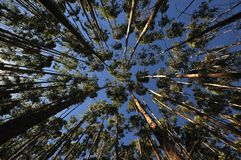 Eucalyptus Forest. Tall growing thin eucalyptus trees, towering above, blue sky through the canopy - viewed from below Stock Image