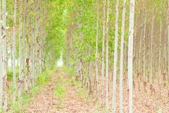 Eucalyptus forest in Thailand Royalty Free Stock Images