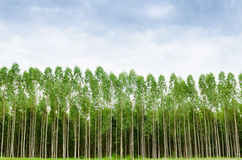 Eucalyptus forest in Thailand Stock Image