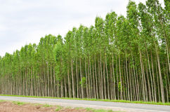 Eucalyptus forest in Thailand Royalty Free Stock Photos