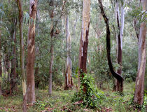 Eucalyptus forest Royalty Free Stock Photo