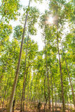 Eucalyptus forest Stock Images