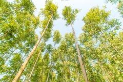 Eucalyptus forest Royalty Free Stock Image