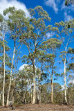 Eucalyptus Forest, Victoria, Australia Royalty Free Stock Image