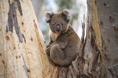 Close-up of Wild Koala in the eucalyptus forests of Kangaroo Island, South Australia. The eucalyptus forests of Kangaroo Island off the coast of Adelaide, South royalty free stock photography