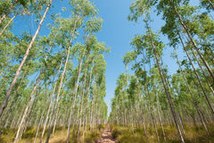 Eucalyptus forests Stock Images