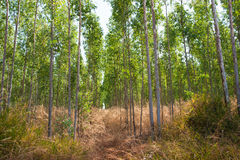 Eucalyptus forests Royalty Free Stock Image