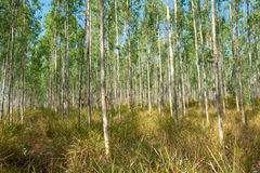 Eucalyptus forests Royalty Free Stock Photo