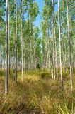 Eucalyptus forests Stock Image
