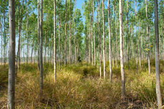 Eucalyptus forests Stock Photo