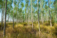 Eucalyptus forests Royalty Free Stock Images