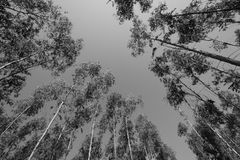 Eucalyptus forests Royalty Free Stock Photos