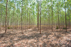 Eucalyptus forests Royalty Free Stock Photography