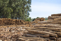 Eucalyptus. Freshly cut eucalyptus logs await to be cut at a sawmill in Botucatu, SP royalty free stock photos
