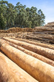 Eucalyptus. Freshly cut eucalyptus logs await to be cut at a sawmill in Botucatu, SP royalty free stock image