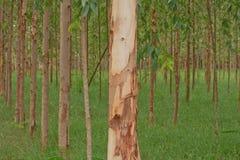 Eucalyptus  garden Stock Photo