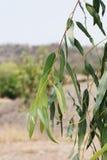 Eucalyptus garden, eucalyptus leaves in farm royalty free stock photo