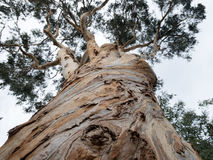 Eucalyptus globus, old tree. Eucalyptus seen from the bottom. Bark and knots are typical for this tree Royalty Free Stock Photos