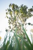 Eucalyptus from the grass. Seen from the point of view of someone relaxing in the mid-day sun Stock Photos