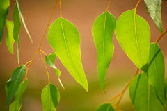 Eucalyptus green leaves Royalty Free Stock Photo