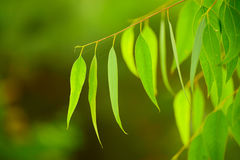 Eucalyptus green leaves Stock Photos