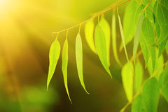 Eucalyptus green leaves Stock Images
