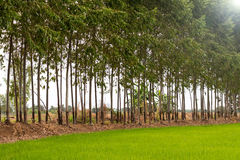 Eucalyptus Green Rice. Stock Image