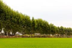 Eucalyptus Green Rice. Royalty Free Stock Photos