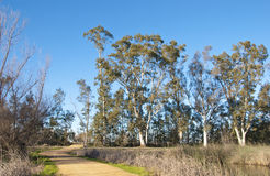 Eucalyptus Grove with Small Dirt Road Royalty Free Stock Image