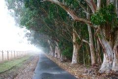 Foggy Eucalyptus Grove Royalty Free Stock Image