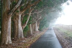 Foggy Eucalyptus Grove Royalty Free Stock Images