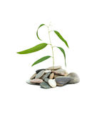 Eucalyptus Growing From Pebbles Royalty Free Stock Photos