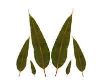 Eucalyptus gum leaves australian native plant Stock Photo