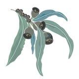 Eucalyptus Gum leaves on branch vector illustration Royalty Free Stock Image