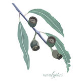 Eucalyptus Gum leaves and Gum Nut vector illustration Stock Photography