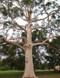 Eucalyptus Gum Tree royalty free stock images