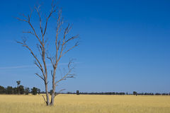 Eucalyptus Gum tree in hay meadow near Parkes, New South Wales, Australia. Royalty Free Stock Images