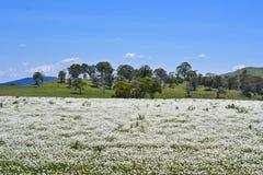 Eucalyptus Gum trees behind flower meadow near Parkes, New South Wales, Australia. Stock Image