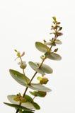 Eucalyptus gunnii. Detail over white background Stock Photo