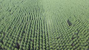 Eucalyptus harvest in sunny day stock video