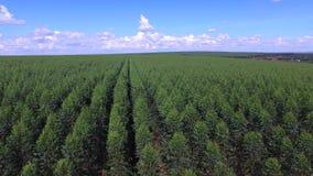Eucalyptus harvest in sunny day stock footage