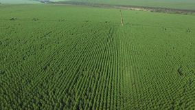 Eucalyptus harvest in sunny day - Aerial view in Brazil. Canavial stock video