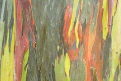 Eucalyptus houten textuur Stock Foto's