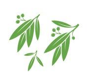 Eucalyptus. Isolated leaves on white background Stock Photography